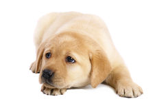 Pup on a white background. Royalty Free Stock Photos