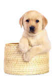 Pup a white background. Pup in a basket on a white background Royalty Free Stock Images