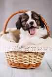 Pup yawns in a basket Royalty Free Stock Image