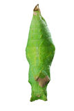 Pupa. The pupa of the butterfly that are embryonic Stock Photography