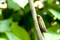 Pupa. The brown pupa stick on the wood Royalty Free Stock Photo
