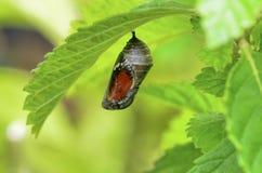 Pupa. Of Danaus chrysippus butterfly Stock Photo