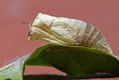 Pupa Royalty Free Stock Photography