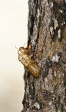 Pupa. Of insect on tree in forest Royalty Free Stock Images