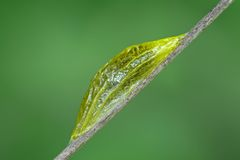 Pupa Stock Photo