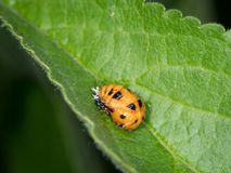 Pupa of Asian ladybeetle situated on a green leaf royalty free stock photo