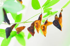 Pupa. Attached to a leaf waiting for the perfect body, so it is out of the chrysalis Stock Image