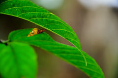 Pupa. Attached to a leaf waiting for the perfect body, so it is out of the chrysalis Royalty Free Stock Image