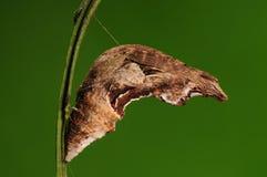 Pupa av fjärilen/den Papilio helenusen /brown Arkivfoto