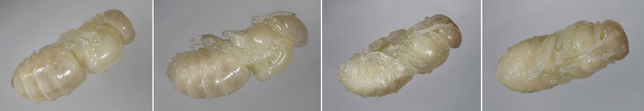 Pupa of bee mother Royalty Free Stock Image