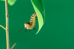 Pupa on branch. Pupa on tree branch on green background Royalty Free Stock Photos