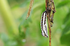 Pupa of butterfly Royalty Free Stock Images