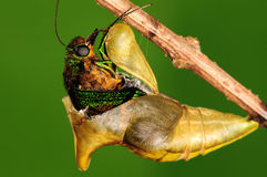 Pupa of butterfly, process of eclosion 4/8. Pupa of butterfly on twig Royalty Free Stock Image