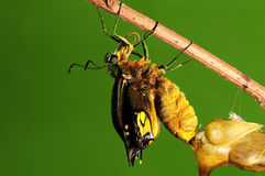 Pupa of butterfly, process of eclosion 5/8. Pupa of butterfly on twig Stock Photo