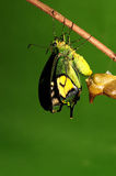 Pupa of butterfly, process of eclosion 6/8. Pupa of butterfly on twig Royalty Free Stock Photos
