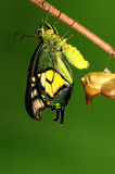 Pupa of butterfly, process of eclosion 7/8. Pupa of butterfly on twig Royalty Free Stock Image