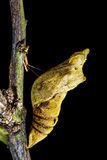 Pupa of butterfly on the tree Royalty Free Stock Photography