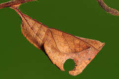 Pupa of Dichorragia nesimachus ,butterfly Stock Images