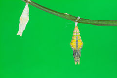Pupa of Great Mormon (Papilio memnon agenor) butterfly Stock Photography
