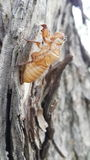 Pupa insect of the cicada. Pupa is the life stage of some insects undergoing transformation royalty free stock photo