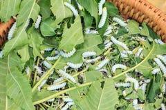 Pupa lub Jedwabniczej dżdżownicy kokon handlowo spłodzona gąsienica Zdjęcie Stock