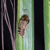 Pupa of Lymantria atemeles Collenette Stock Photography