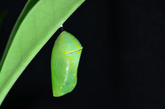 Pupa of Plain Tiger Butterfly. On black background stock photography