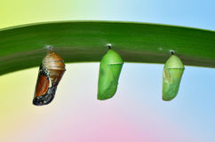 Pupa of Plain Tiger Butterfly. Three pupa of Plain Tiger Butterfly stock photos