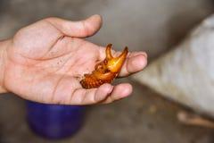 Pupa Siamese rhinoceros beetle. Or Fighting beetle on hand Stock Image