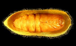 Pupa. Silk Moth Royalty Free Stock Photography
