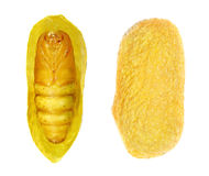 Pupa. Silk Moth Stock Image