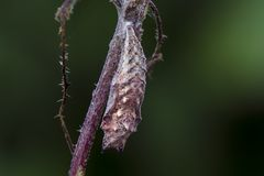 Pupa. Of small tortoiseshell (Aglais urticae) dangle on nettle Royalty Free Stock Images