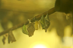 Pupae of butterflies in an insectary Stock Photo