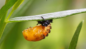 A Pupae Hanging From a Leaf Royalty Free Stock Images