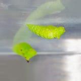 Pupae Ogoniasty Jay motyl (Graphium agamemnon agamemnon) Fotografia Royalty Free
