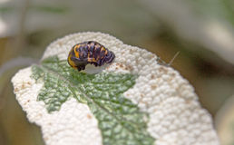 A pupae on a Sage Leaf Royalty Free Stock Images