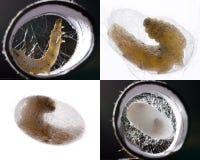 Pupation del gusano de seda Fotos de archivo