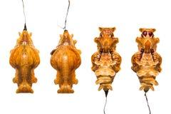 Pupe comuni di aristolochiae di Rose Pachliopta fotografia stock