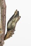 Pupe della farfalla Immagini Stock