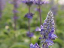 Puple blomma Fotografering för Bildbyråer