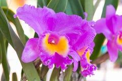 Puple Cattleya orchid. Beautiful puple Cattleya  orchid in Thailand,Close up of beautiful orchid Stock Photography
