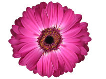 Puple Gerbera Daisy Royalty Free Stock Photos