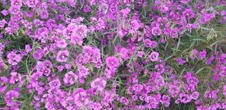 Puple kwiatów ogród obrazy royalty free