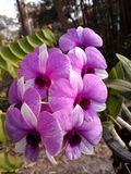 Puple orkidé Royaltyfri Fotografi