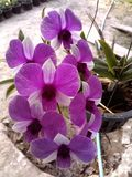 Puple orkidé Royaltyfri Foto
