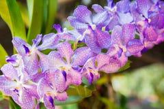 Puple Vanda orchid. Beautiful Vanda in Thailand,Close up of beautiful orchid.,Dendrobium thyrsiflorum Rchb.f.,Vanda coerulea Griff. ex Lindl Stock Photos