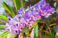 Puple Vanda orchid. Beautiful Vanda in Thailand,Close up of beautiful orchid.,Dendrobium thyrsiflorum Rchb.f.,Vanda coerulea Griff. ex Lindl Stock Image