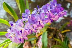 Puple Vanda orkidé Fotografering för Bildbyråer