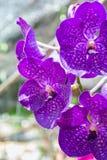 Puple Vanda orkidé Arkivbilder