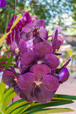 Puple Vanda orkidé Royaltyfria Bilder